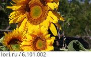Купить «Три подсолнуха в лучах солнца», видеоролик № 6101002, снято 6 июля 2014 г. (c) V.Ivantsov / Фотобанк Лори