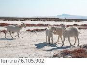 Купить «Белые козы», фото № 6105902, снято 5 октября 2008 г. (c) Владимир Сурков / Фотобанк Лори