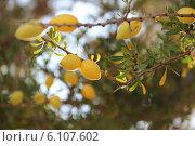 Плоды органового дерева. Стоковое фото, фотограф Лилия Абдуллина / Фотобанк Лори