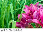 Цветущие красные лилии. Стоковое фото, фотограф Максим Тимофеев / Фотобанк Лори