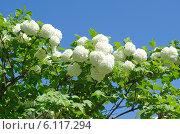 Декоративная калина Бульденеж, или Снежный шар (лат. Viburnum opulus var sterile) на фоне голубого неба. Стоковое фото, фотограф Елена Коромыслова / Фотобанк Лори
