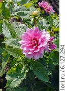 Купить «Садовый георгин (лат. Dаhlia)», эксклюзивное фото № 6127294, снято 1 июня 2020 г. (c) Svet / Фотобанк Лори