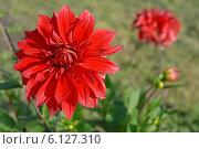 Купить «Алый крупный цветок георгина в саду (лат. Dаhlia)», эксклюзивное фото № 6127310, снято 7 июля 2020 г. (c) Svet / Фотобанк Лори