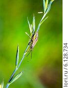 Мимикрия. Замаскировавшееся насекомое на злаковом растении. Стоковое фото, фотограф Евгений Мухортов / Фотобанк Лори