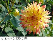 Купить «Цветы георгина  (лат. Dаhlia)», эксклюзивное фото № 6130310, снято 7 июля 2020 г. (c) Svet / Фотобанк Лори