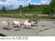 Козы идут по дороге. Стоковое фото, фотограф Владимир Аликин / Фотобанк Лори