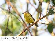 Купить «Желтая трясогузка Motacilla flava (Linnaeus, 1758). Подросший птенец на ветке дерева», фото № 6142718, снято 15 июля 2014 г. (c) Григорий Писоцкий / Фотобанк Лори
