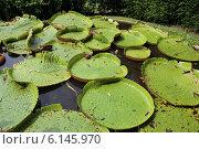 Водяная лилия. Стоковое фото, фотограф Torgotd / Фотобанк Лори