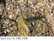 Купить «Стрекоза, сидящая на облепленном комарами мокром камне», фото № 6146194, снято 15 июля 2014 г. (c) Андрей Забродин / Фотобанк Лори