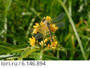 Купить «Стрекоза и комары, сидящие на цветке», фото № 6146894, снято 15 июля 2014 г. (c) Андрей Забродин / Фотобанк Лори