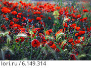 Поле красных маков (2007 год). Стоковое фото, фотограф Григорий Карамянц / Фотобанк Лори