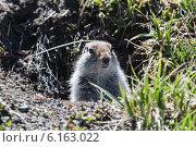 Купить «Евражка, или берингийский суслик, выглядывает из своей норы. Камчатка», фото № 6163022, снято 28 июня 2014 г. (c) А. А. Пирагис / Фотобанк Лори