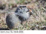 Купить «Берингийский суслик, или евражка, кушает корочку хлеба. Камчатка», фото № 6164006, снято 28 июня 2014 г. (c) А. А. Пирагис / Фотобанк Лори