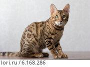 Кошка бенгальской породы на сером фоне. Стоковое фото, фотограф Viacheslav Martynov / Фотобанк Лори