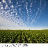 Купить «Ряды молодых всходов кукурузы на сельском поле в Белгородской области», фото № 6174306, снято 9 июня 2014 г. (c) Владимир Мельников / Фотобанк Лори