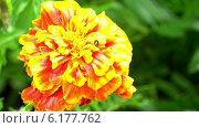 Цветы бархатцы с червяком крупным планом. Стоковое видео, видеограф Евгений Егоров / Фотобанк Лори