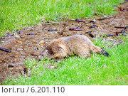 Сурок пьет из ручья. Стоковое фото, фотограф Юлия Кузнецова / Фотобанк Лори