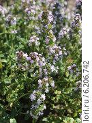 Купить «Цветение тимьяна, или чабреца», эксклюзивное фото № 6206742, снято 20 июля 2014 г. (c) Шуньята Антонова / Фотобанк Лори