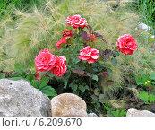 Альпийская горка с розами и декоративным ячменем. Стоковое фото, фотограф Daniela / Фотобанк Лори