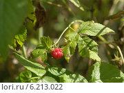 Спелая дикорастущая лесная малина, ягода на кусте. Стоковое фото, фотограф Вячеслав Сапрыкин / Фотобанк Лори
