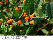 Купить «Волчья ягода — жимолость обыкновенная (Lonicera xylosteum L.)», эксклюзивное фото № 6223478, снято 20 июля 2009 г. (c) lana1501 / Фотобанк Лори