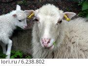 Berlin, Germany, sheep and lamb racial Skudde. Стоковое фото, агентство Caro Photoagency / Фотобанк Лори