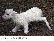 Berlin, Germany, Newborn lamb sheep breed Skudde. Стоковое фото, агентство Caro Photoagency / Фотобанк Лори