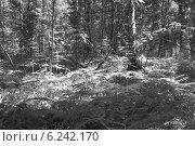Папоротниковые заросли в лесу, черно-белое фото. Стоковое фото, фотограф Сергей Лялин / Фотобанк Лори