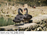 Купить «Два чёрных лебедя стоят на камнях друг на против друга», эксклюзивное фото № 6246010, снято 16 апреля 2014 г. (c) Dmitry29 / Фотобанк Лори