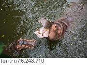 Два обыкновенных бегемота в открытом зоопарке. Стоковое фото, фотограф Анна Королева / Фотобанк Лори