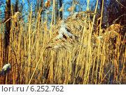 Сухой тростник зимой. Стоковое фото, фотограф Екатерина Романенко / Фотобанк Лори