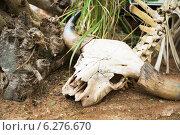 Череп крупный рогатый скот, останки, скелет крупным планом. Стоковое фото, фотограф Анна Королева / Фотобанк Лори