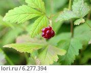 Купить «Княженика. Rubus arcticus L. Спелая ягода», фото № 6277394, снято 13 августа 2014 г. (c) Григорий Писоцкий / Фотобанк Лори