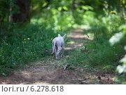 Купить «Кошка донской сфинкс уходит по тропинке в лес», фото № 6278618, снято 29 июля 2014 г. (c) Кекяляйнен Андрей / Фотобанк Лори