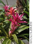 Купить «Гусмания (лат. Guzmania)», эксклюзивное фото № 6284810, снято 11 августа 2014 г. (c) lana1501 / Фотобанк Лори