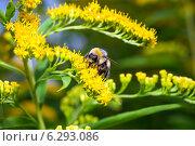 Купить «Шмель опыляет желтые цветы», фото № 6293086, снято 14 августа 2014 г. (c) Сергей Лаврентьев / Фотобанк Лори
