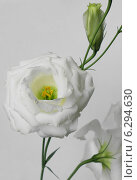 Купить «Цветок лизиантуса на сером фоне. Крупный план», эксклюзивное фото № 6294630, снято 31 июля 2014 г. (c) Wanda / Фотобанк Лори