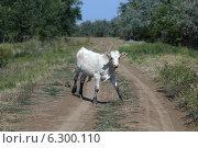 Купить «Испуганный молодой белый бычок на проселочной дороге», эксклюзивное фото № 6300110, снято 13 августа 2014 г. (c) Алексей Гусев / Фотобанк Лори