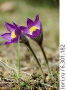 Купить «Сон трава», фото № 6301182, снято 2 мая 2013 г. (c) Зудин Виталий Владимирович / Фотобанк Лори