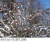 Рябина зимой. Стоковое фото, фотограф Голов Евгений Юрьевич / Фотобанк Лори