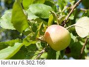 Купить «Яблоко на ветке», фото № 6302166, снято 9 августа 2014 г. (c) Екатерина Овсянникова / Фотобанк Лори