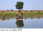 Купить «Стадо коров пришло на водопой к реке», эксклюзивное фото № 6302478, снято 13 августа 2014 г. (c) Алексей Гусев / Фотобанк Лори