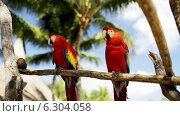 Купить «Close up of two red parrots sitting on perch», видеоролик № 6304058, снято 30 июля 2014 г. (c) Syda Productions / Фотобанк Лори