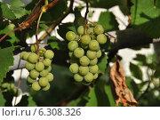 Купить «Кисти зеленого винограда с листьями и лозой», эксклюзивное фото № 6308326, снято 19 августа 2014 г. (c) lana1501 / Фотобанк Лори