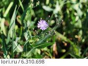 Ястреби́нка (Hieracium) с голубыми цветами. Стоковое фото, фотограф Елена Сидорова / Фотобанк Лори