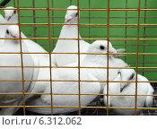 Купить «Белые голуби в клетке», фото № 6312062, снято 2 июня 2013 г. (c) Николай Комаровский / Фотобанк Лори