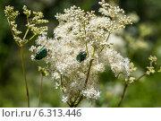 Купить «Жуки бронзовки на цветке», фото № 6313446, снято 29 июня 2014 г. (c) Ольга Сейфутдинова / Фотобанк Лори