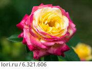 Купить «Роза чайно-гибридная Ориент Экспресс, Love and Peace (Восточный Экспресс) (лат. Orient Express)», фото № 6321606, снято 19 июля 2014 г. (c) Ольга Сейфутдинова / Фотобанк Лори