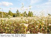 Цветение поля гречихи. Стоковое фото, фотограф Ирина Апарина / Фотобанк Лори
