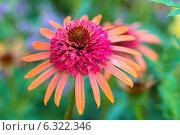 Купить «Эхинацея Иррезистэбл», фото № 6322346, снято 12 июля 2014 г. (c) Ольга Сейфутдинова / Фотобанк Лори